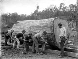 Manhandling a huge kauri log with timber jacks.